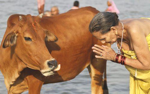 vacche-sacre-india